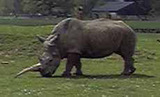 Picture of Rhinoceros